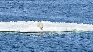 Polar Bears Are Swimming Themselves To Death As Sea Ice Melts - Video