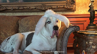 Hilarious Great Dane Models Easter Bunny Sheep Goat Harvey Rabbit Ears  - Video