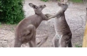 Orphaned Kangaroos Play Fight Over Food
