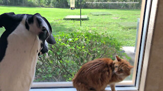 Cat Is Not Amused That Great Dane Interrupts His Bug Watching