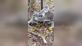 Mother koala rescues baby caught on barbed wire - Video