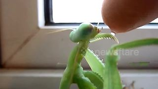 Giant Asian praying mantis drinks from man's finger - Video