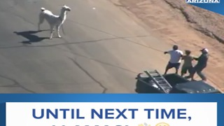 RELIVE THE LLAMA DRAMA - ABC15 Digital - Video