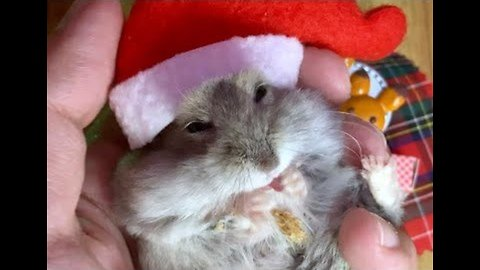 Hamster Ready to Deck the Halls for Christmas