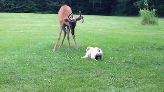 French Bulldog and wild buck share unbelievable friendship - Video