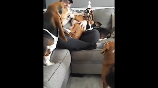 Hilarious basset hound throws jealous temper tantrum