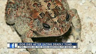 Family dog dies after eating deadly toad - Video