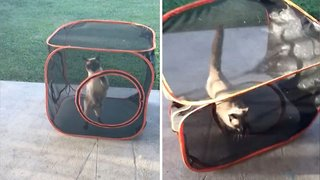 How Un-fur-tunate! Silly Cat Gets Stuck Rolling In Play Box