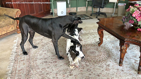Funny Great Dane has very persuasive paws