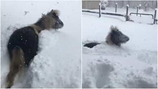 This horse loves playing in the snow