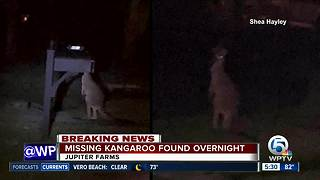 Neighbors describe finding missing kangaroo overnight in Jupiter Farms - Video
