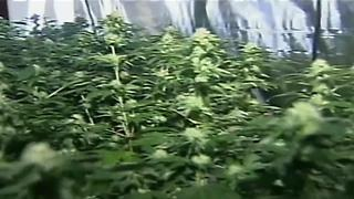 California City Cultivation: The future of medical marijuana growth in Kern County - Video