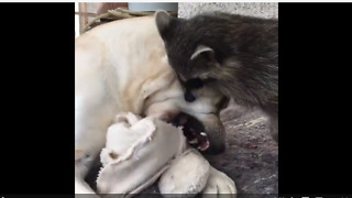 Dog battles raccoon for blanket dominance