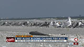 Red algae blooms causing fish kills - Video