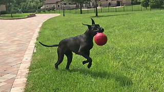 Playful Great Dane Pounces and Bounces with Jolly Ball