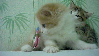 Watching Kittens  - Video
