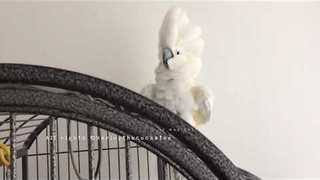 Entertaining Cockatoo Demonstrates Her Daredevil Cage Skills - Video