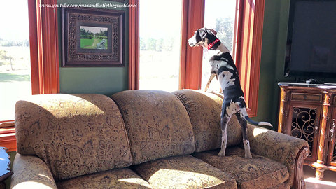 Funny Great Dane puppy gets easily distracted