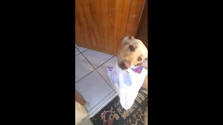 Dog extremely eager to help carry in groceries - Video