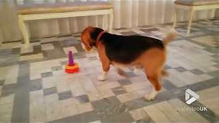 Beagle Masters The Game Of Stacking The Pyramid Rings