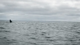 Humpback Whale Breaches Out of Water in Newfoundland - Video