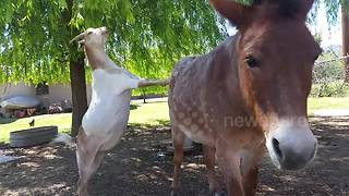 Goat uses donkey to reach snack - Video