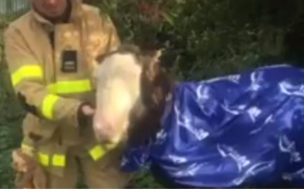 Foal Saved From Drowning in Canal by Dublin Fire Brigade