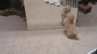 Cute Puppy Dog Plays With her Mirror Reflection - Video