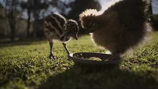 Emu Chick Tries Hard to Keep Up With Human Friends - Video