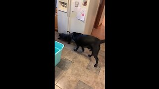 New puppy introduced to doggy become instant best friends