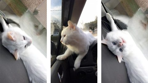 Adorable Kitty Falls In Love With Windscreen Wipers