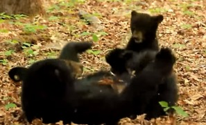 Mama Bear and Cub Enjoy Precious Play Time in Cades Cove, Tennessee - Video