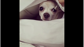 Clever small dog makes bed inside pillowcase - Video