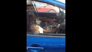 Impatient Dog Honks The Horn While Waiting For Owner - Video