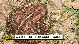 Pet owners: watch out for cane toads - Video