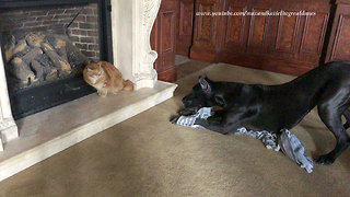 Cat not impressed with overly-playful Great Danes