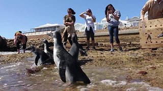 Heartwarming moment rescued baby penguins waddle their way to freedom