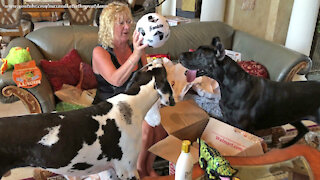 Excited 2 And 4 Year Old Great Danes Open Their Birthday Gifts