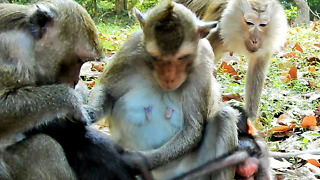 Pig Tail Monkey Love Baby Monkey Long Tail - Video