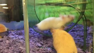 Hilarious Video Shows Hamster Being Casually Bullied in Running Wheel - Video