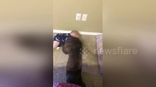 Cheeky dog squats on baby crawling - Video