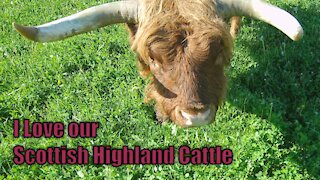 I Love our Scottish Highland Cattle