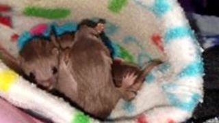 Tiny Rescued Weasel Kittens Enjoy Playtime - Video