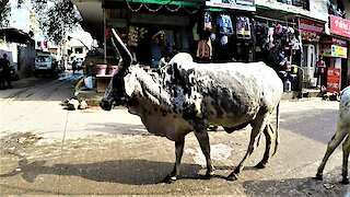 Stray cows wander busy street in India for bread handouts