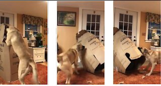 Big strong dog tears apart giant cardboard box