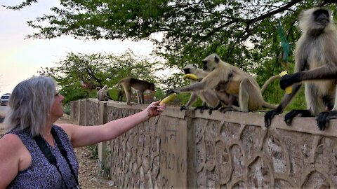 Monkey with her baby receives bananas from a kindly tourist