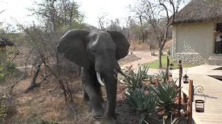 Closeup encounter with elephant snapping tree - Video