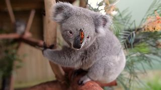 Butterfly takes over koala's photoshoot like a boss! - Video