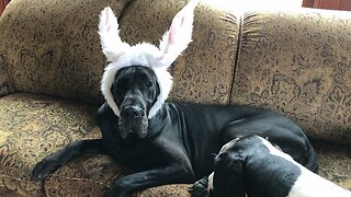 Great Dane Models Easter Bunny Ears with Slight Wardrobe Malfunction