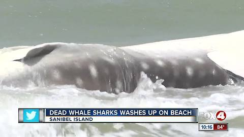Whale Shark spotted in Sanibel Island on Sunday morning